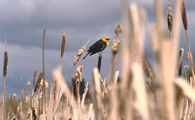 Yellowheaded blackbird in Prince Albert National Park marshland