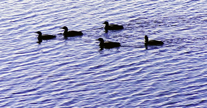 Common loons in Prince Albert National Park